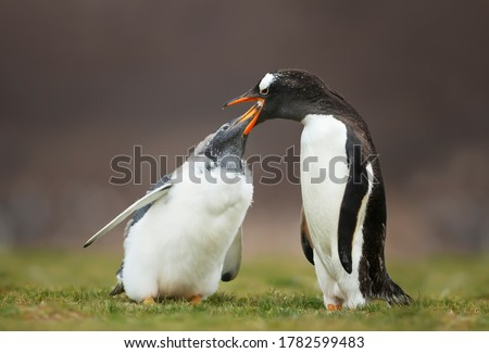 Close up of a Gentoo penguin feeding a molting  chick with regurgitated food, Falkland Islands.