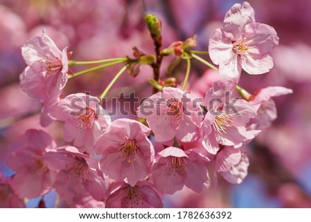 Pink flowers of Yoko cherry blossoms #1782636392