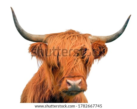 Highland cattle, a Scottish cow, isolated on white background Royalty-Free Stock Photo #1782667745