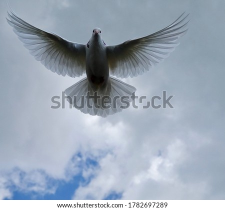 White dove close-up against a gray cloud background #1782697289