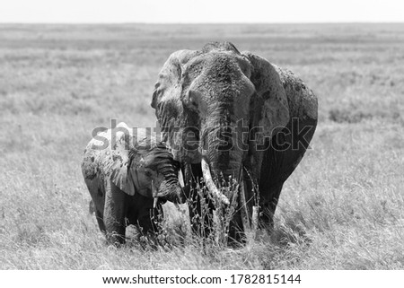 Serengeti NP, Tanzania - July 18, 2016: Black and white picture of mother elephant and baby elephant
