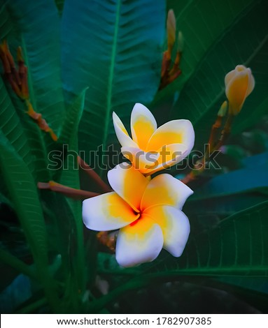 White Kath Golap Flower High Resolution Stock Photo