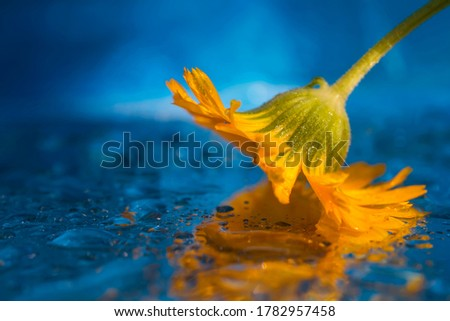 Yellow flower on a blue water background. Macro photo. Yellow flower close-up. Reflection of a flower in water. Texture of yellow petals. Water texture. Blue background. Water drops. Bokeh #1782957458