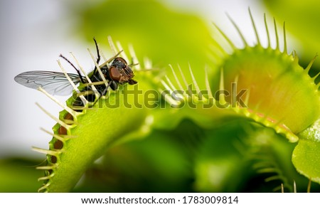 a unlucky common house fly being eaten by a hungry venus fly trap plant Royalty-Free Stock Photo #1783009814