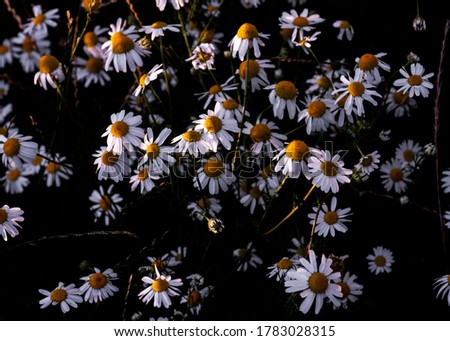Close up picture of Daisy flowers with contrasting background and bright yellow and white floral elements. Wildflower meadow wallpaper or header asset.