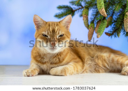 Red cat is looking at the camera. Pictures of cats, cat eyes, cute cat. Russian cat on the background of Christmas. New year concept. Copyspace.