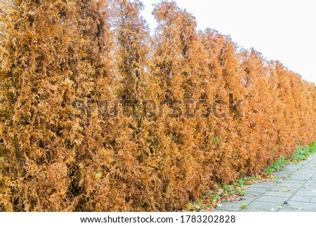Row of dried brown conifer plants as hedge around garden Royalty-Free Stock Photo #1783202828