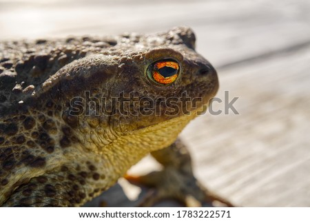 Common Toad sitting on old wooden table, Bufo Bufo close-up.
