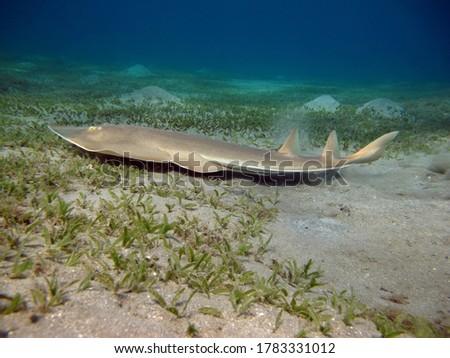 Guitar stingray or Chola guitarfish (Rhinobatos percellens), belongs to the family of guitar or loose stingrays.