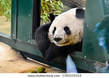 Cute Sleeping Panda Bear in Zoo, Black and White Animal