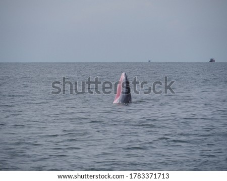 Bryde's Whale Trap Feeding Small Schooling Fish and Krill Found Swimming in The Gulf of Thailand. This Whale has a Unique Pink Throat. Its picture was captured in the sea not too far from Bangkok.