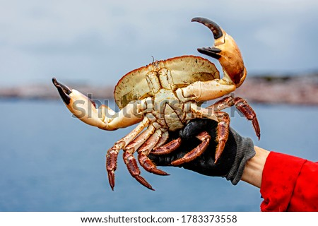 The Crab season is in full swing in Norway. The fishermen are hunting for edible crab, also known as brown crab. They are using lobster traps to catch the crabs. The photo was taken at Frøya in Norway #1783373558