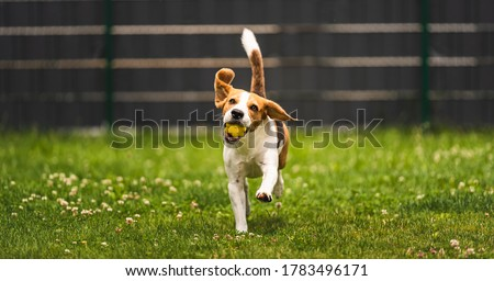 Dog fetch a yellow ball in backyard. Active training with beagle dog. Canine theme Royalty-Free Stock Photo #1783496171