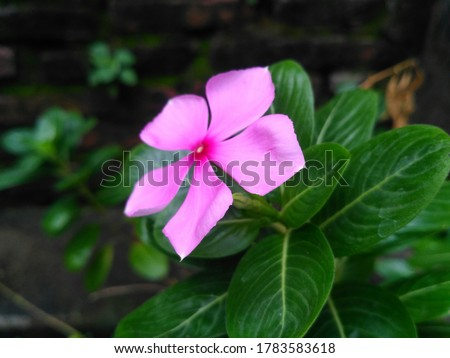 Beautiful pink flower or rose periwinkle,Catharanthus roseus, commonly known as bright eyes, Cape periwinkle, graveyard plant, Madagascar periwinkle, old maid, pink periwinkle view #1783583618