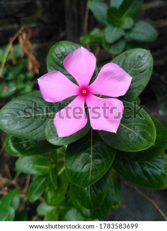 Beautiful pink flower or rose periwinkle,Catharanthus roseus, commonly known as bright eyes, Cape periwinkle, graveyard plant, Madagascar periwinkle, old maid, pink periwinkle view #1783583699