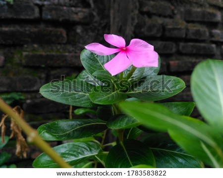 Beautiful pink flower or rose periwinkle,Catharanthus roseus, commonly known as bright eyes, Cape periwinkle, graveyard plant, Madagascar periwinkle, old maid, pink periwinkle view #1783583822