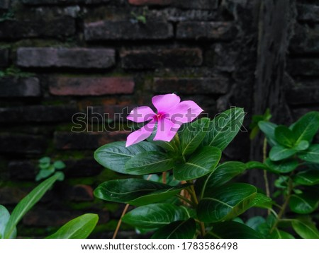 Beautiful pink flower or rose periwinkle,Catharanthus roseus, commonly known as bright eyes, Cape periwinkle, graveyard plant, Madagascar periwinkle, old maid, pink periwinkle view #1783586498