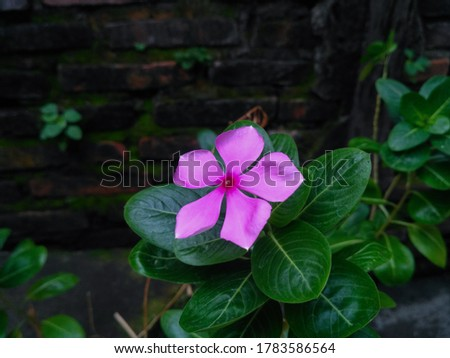 Beautiful pink flower or rose periwinkle,Catharanthus roseus, commonly known as bright eyes, Cape periwinkle, graveyard plant, Madagascar periwinkle, old maid, pink periwinkle view #1783586564