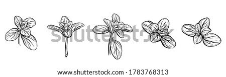 Basil leaves isolated on a white background. Italian herbs.A sprig of marjoram. Basil is a fragrant and fragrant seasoning. Hand drawn vector illustration #1783768313