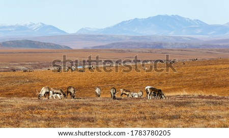 A herd of reindeer in the tundra. Autumn arctic landscape. Valley among mountains and hills. Northern expanses of the polar region. Reindeer herding in Chukotka in Siberia in the far east of Russia. Royalty-Free Stock Photo #1783780205