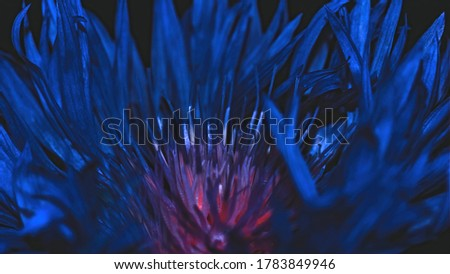 Close-up of dark blue flower with selective focus. Abstract floral background