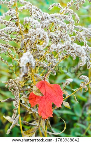 A red autumn maple leaf hangs on a dry bush of a yellow goldenrod plant. #1783968842