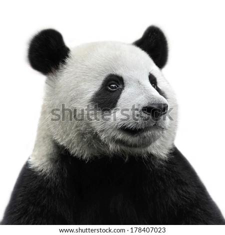 Panda bear isolated on white background #178407023