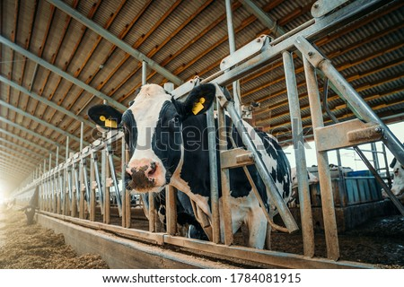 Cows on dairy farm. Cows breeding at modern milk or dairy farm. Cattle feeding with hay. Royalty-Free Stock Photo #1784081915