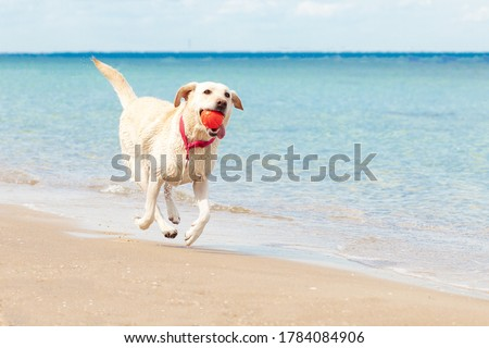 dog runs along the beach in summer against the background of the sea, labrador with a ball resting at the resort, animals in summer concept