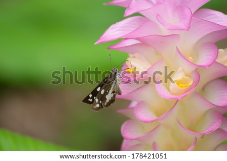 little baby moth collect pollen of pink Siam tulip with blur green background stock photo #178421051
