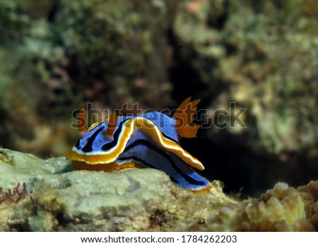 Front view of a Chromodoris Annae nudibranch Cebu Philippines