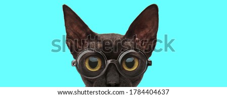 nerdy cute metis cat hiding her face from camera and wearing eyeglasses on blue background