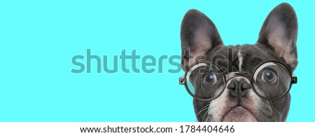 cute nerdy French Bulldog dog with eyeglasses is looking up on blue background