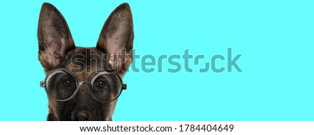 adorable nerdy German Shepherd dog with face half exposed, wearing eyeglasses and looking at camera on blue background
