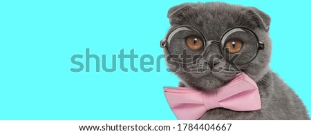 nerdy adorable Scottish Fold cat wearing pink bowtie and eyeglasses, sitting and looking at camera on blue background