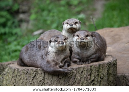 Portrait of a family of Asiatic Short-Clawed Otters, Keyah, Buddy & Minnie (Amblonyx cinereus)