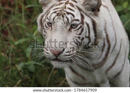 White Tiger - Rare Picture of White tiger