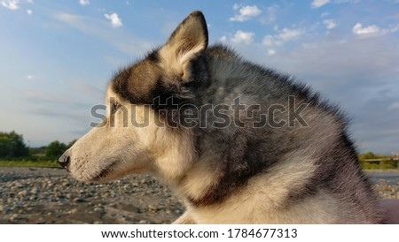 Portrait of a Siberian husky against the blue sky. The dog is in profile, ears are flattened. Fluffy black and white fur, blue eyes.