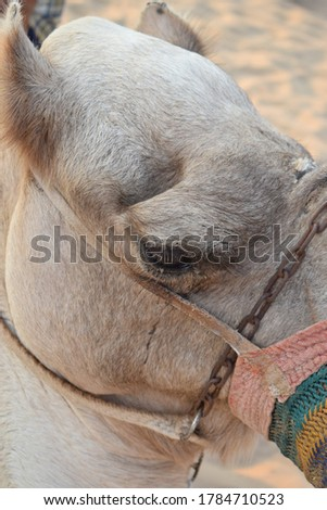 close up shot of a camel in the Thar desert  #1784710523