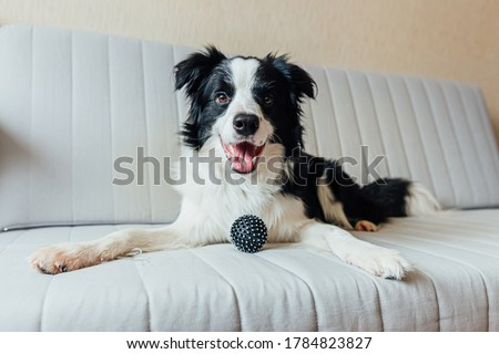 Funny portrait of cute smiling puppy dog border collie playing with toy ball on couch indoors. New lovely member of family little dog at home gazing and waiting. Pet care and animals concept Royalty-Free Stock Photo #1784823827
