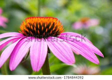 Beautiful blooming flower of Echinacea purpurea close up. Macro photography of a flower. Floral background for design. Blooming medicinal herb close-up. Nature concept.