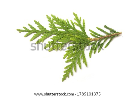 Closeup of cypress leaf on white background Royalty-Free Stock Photo #1785101375