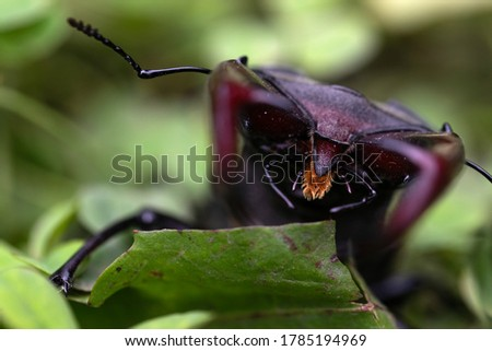 Close up picture of a beautiful male stag-beetle