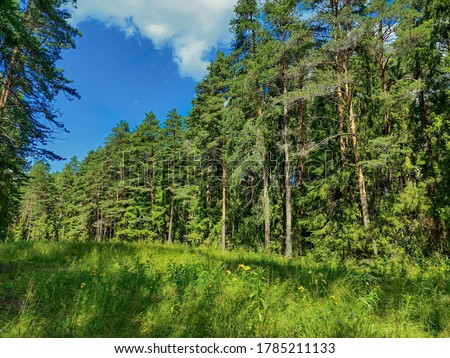 The edge of the protected forest near Koprino, Rybinsky district, Yaroslavl region, Russia. Coniferous forest in the summer day Royalty-Free Stock Photo #1785211133