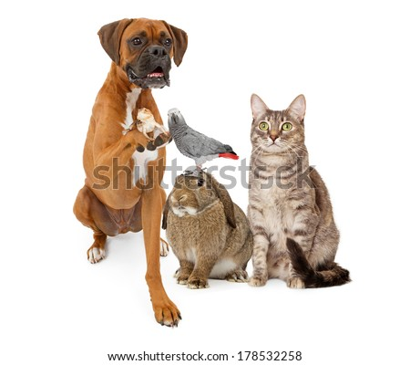 A group of domestic animals consisting of a Boxer dog holding a lizard, a bunny rabbit with a parrot on his head and a gray striped tabby cat Royalty-Free Stock Photo #178532258