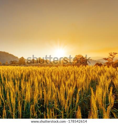 barley field in sunset #178542614