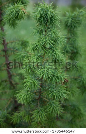 Conifer needle green Pine tree plant. Close up macro garden detail Royalty-Free Stock Photo #1785446147