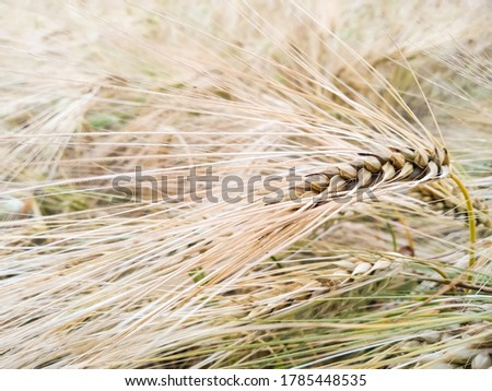 Close-up golden spikelet of rye against the backdrop of an earing field of rye. Macro shot spike of rye with copy space. Harvest rye. Harvesting season. #1785448535