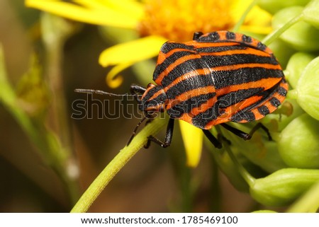 Colorful Striped bug (Graphosoma italicum) The red and black striped insect is also known as the Striped bug (or Italian striped bug) and Minstrel bug #1785469100