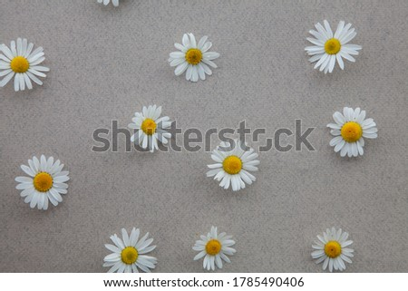 Pattern from flowers of daisies on a gray natural background and top view. A Daisy frame with a copy of the text space.